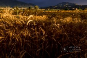 Wheat and the tares.jpg