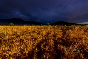 Wheat in the storm_11.jpg