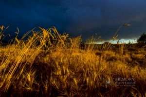 Wheat in the storm_9.jpg