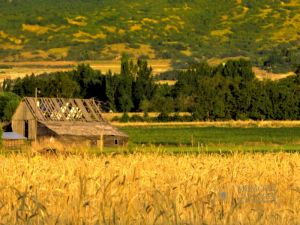 Wheat and old barn (1) 24x18.jpg