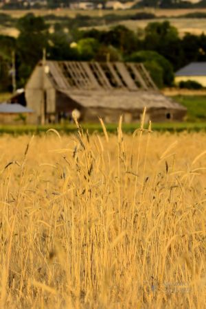 Wheat and old barn (2).jpg