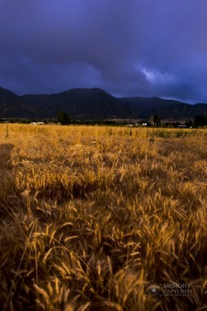 Wheat in the storm.jpg