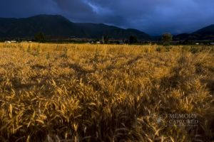 Wheat in the storm_1.jpg