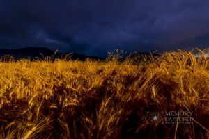Wheat in the storm_10.jpg