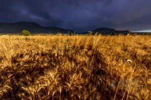 Wheat in the storm_13.jpg