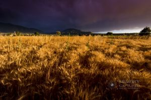 Wheat in the storm_14.jpg