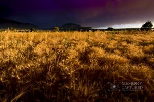 Wheat in the storm_15.jpg