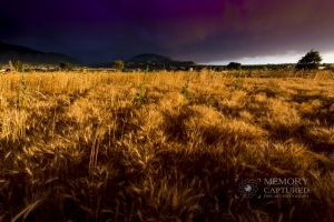 Wheat in the storm_16.jpg