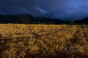 Wheat in the storm_2.jpg