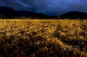 Wheat in the storm_3.jpg