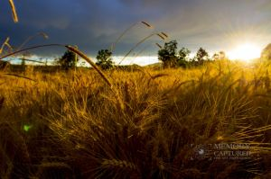 Wheat in the storm_7.jpg