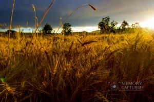 Wheat in the storm_8.jpg